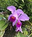 Wild orchids (44696071280).jpg
