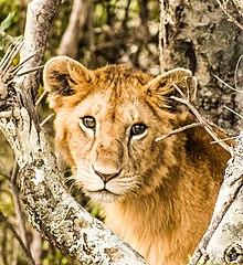 A lion (Panthera leo)