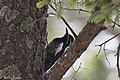 Williamson's Sapsucker (male) Forest Rd 42 Loop Chiricahuas Portal AZ-72 (35066875043).jpg