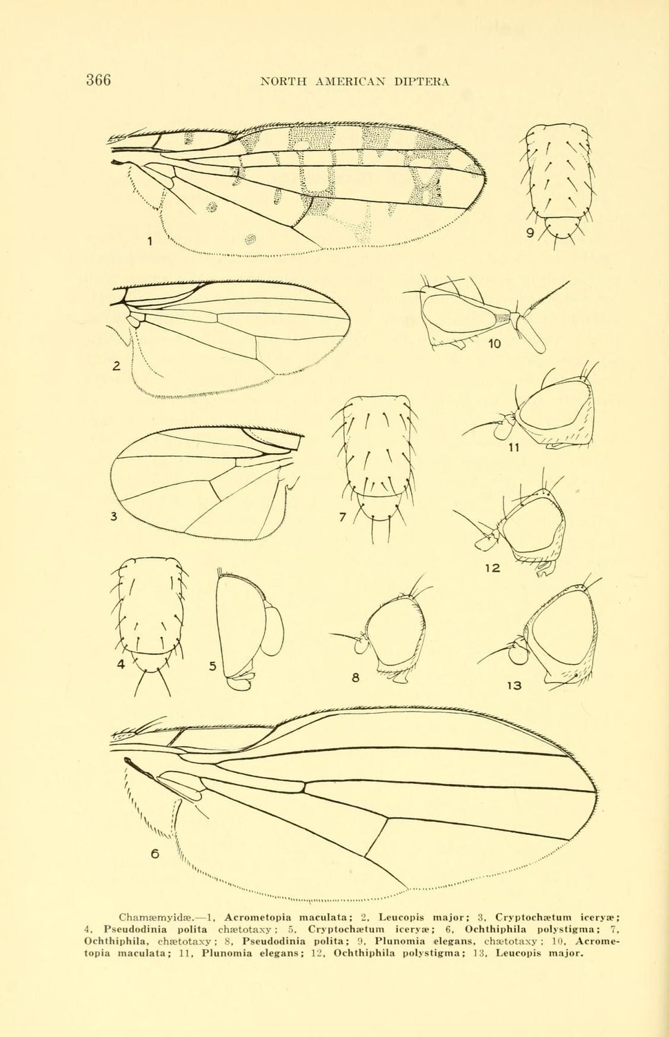 WillistonChamaemyiidae