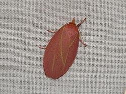Wingia lambertella (15747199255) (2).jpg