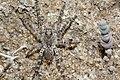 Wolf spider - Flickr - jeans Photos (1).jpg