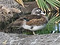Wood Duck SMTC.jpg