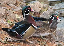Wood Ducks 3 trio.jpg
