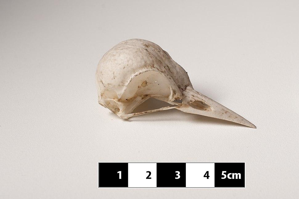 """Woodpecker skull """"Picidae sp."""" at MAV-USP"""