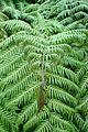 Woodwardia orientalis kz3.jpg