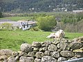 Woolly windbreak - geograph.org.uk - 1062316.jpg