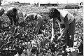 Workers in the fields of Kibbutz Zikim.jpg