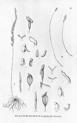 Wullschlaegelia aphylla & calcarata.jpg