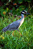 Yellow-crowned Night Heron (7159983935).jpg