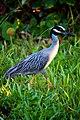Yellow-crowned Night Heron (7159983935).jpg