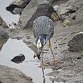 Yellow-crowned night Heron eating a crab (48274696701).jpg