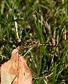 Yellow Dragonfly 2 (7974384195).jpg