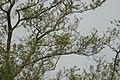 Yellow Oreole (Sunderbans Safari) (38326546381).jpg