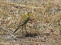 Yellow Wagtail (Motacilla flava) (28896619742).jpg
