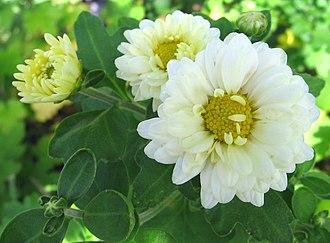Phi Mu Alpha Sinfonia - White chrysanthemums.