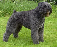 An adult Bouvier des Flandres.