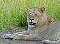 Young Lion (Panthera leo) (13943794941).jpg