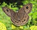 Ypthima baldus - Common Five-ring 03.JPG