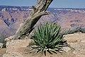 Yucca baccata fh 1182.37 AZ B.jpg