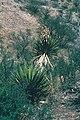 Yucca grandiflora fh 0401 MEX BC.jpg