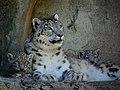 Zürich Zoo Snow leopards (17032688422).jpg