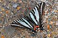 Zebra Swallowtail - Eurytides marcellus, Julie Metz Wetlands, Woodbridge, Virginia.jpg