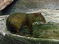 Zoo Beauval 12 06 2010 22 Dasyprocta azarae.jpg