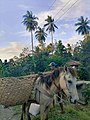 """"""" HAKOT- USING BUKAG UG KABAYO """" A traditional way of transporting goods here in province of Philippines such as corn, sugar cane and coconut etc.jpg"""