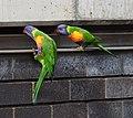 (1)Rainbow Lorikeet 034.jpg