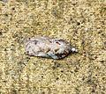 (49.076) (BF1054) Acleris cristana - Flickr - Bennyboymothman (1).jpg