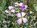 (ALB) R. sativus-1.jpg
