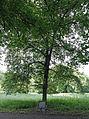 Židlochovice zámecký park Masarykova lípa.jpg