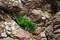 Κρομμύδα (Drimia Maritima) ανάμεσα σε βράχια, Άνω Σύμη.jpg