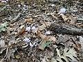Ξερά φύλλα και κυκλάμινα στο δρυοδάσος Φολόης.jpg