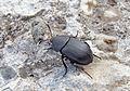 Аблаттария сглаженная (Мертвоедмоллюскоед) - Ablattaria laevigata - Smooth Carrion-beetle - Stark gefährdeter Käfer (Mattschwarzer Schneckenjäger ) (25926134895).jpg