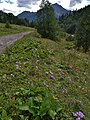 Безвременник великолепный в естественных условиях. Абхазия. Национальный парк Рица.JPG