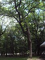 Дерево-великан ясеня обыкновенного.jpg