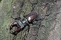 Жуки-олені розмноження та годівля 07.jpg