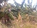 Здесь я в первый раз увидел, как растут бананы - panoramio (1).jpg