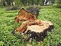 Зрубане дерево поряд з вул. Бандери.jpg