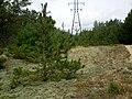 Маладые елкі - panoramio.jpg