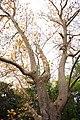 Платан Восточный, парк Утёс.jpg