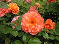 Розы «Вестерланд». Долина Роз.jpg