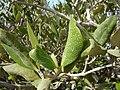 Соль мангрового дерева - panoramio.jpg