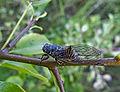 Цикада горная - Cicadetta montana - Mountain cicadas (19531484665).jpg
