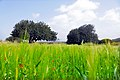 حقول القمح في برطلس .jpg