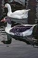 غاز -Geese 14.jpg