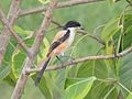 ল্যাঞ্জা কসাই Long Tailed Shrike.JPG