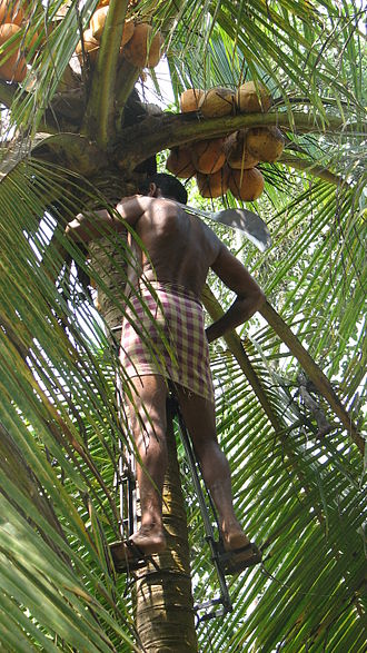 Coconut production in Kerala - A man collecting coconuts in Kerala